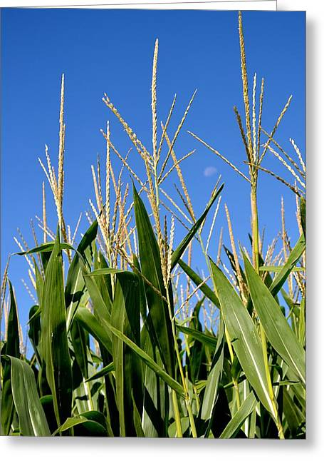 Corn Tassels And Moon Greeting Card