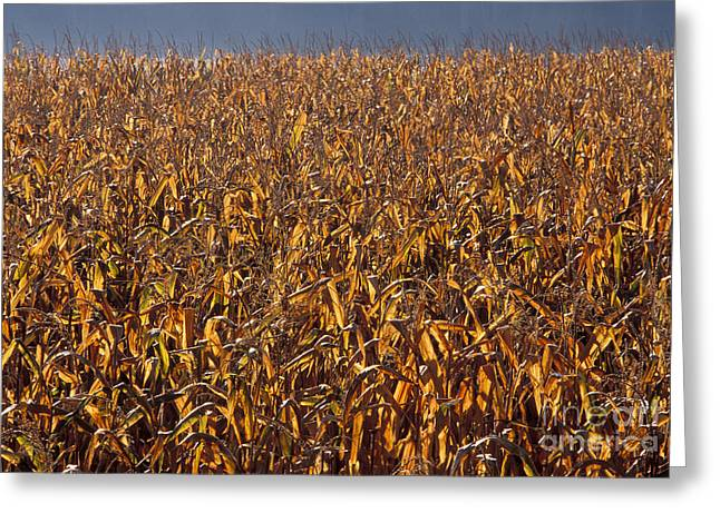 Cornfield Greeting Card by Ron Sanford