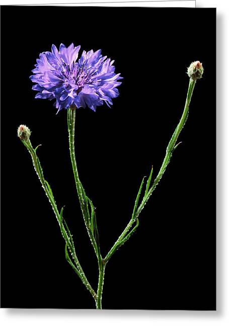 Cornflower (centaurea Cyanus) Greeting Card