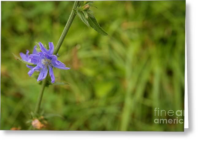 Cornflower In The Fields Greeting Card by Jolanta Meskauskiene