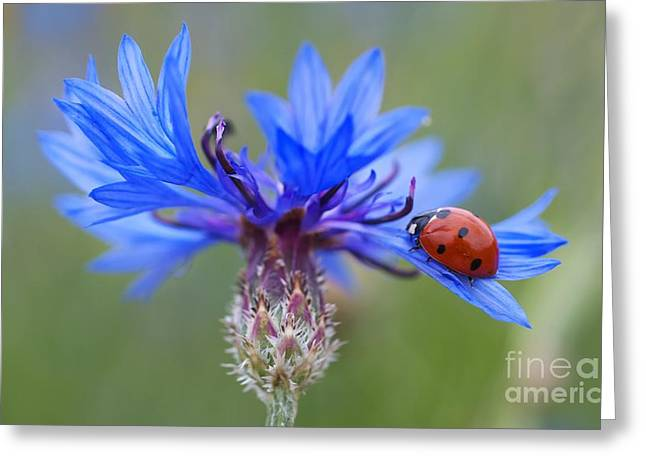 Greeting Card featuring the photograph Cornflower Ladybug Siebenpunkt Blue Red Flower by Paul Fearn