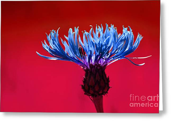 Cornflower Greeting Card by Lutz Baar