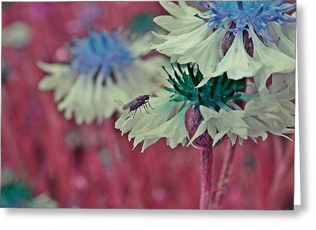 Cornflower With Lilac Fly Greeting Card