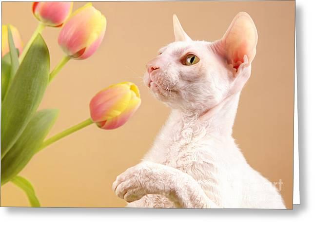 Cornish Rex Cat Greeting Card by Verena Matthew