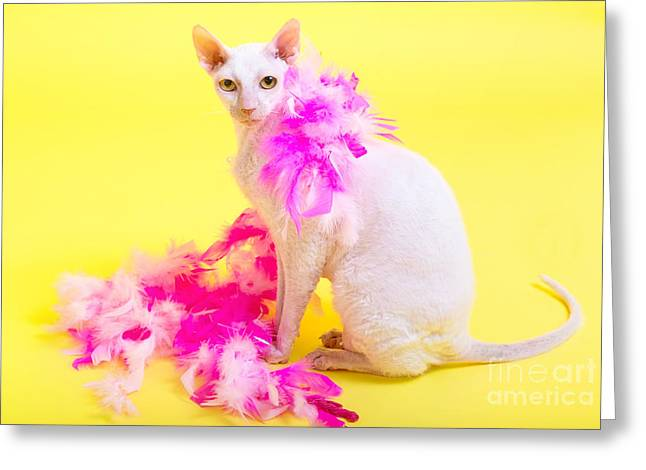Cornish Rex Greeting Card