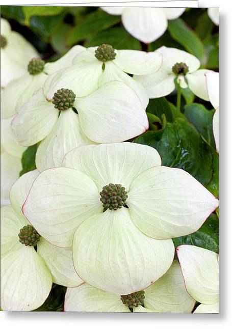 Cornus Kousa Southern Cross In Bloom Greeting Card by Dr Jeremy Burgess