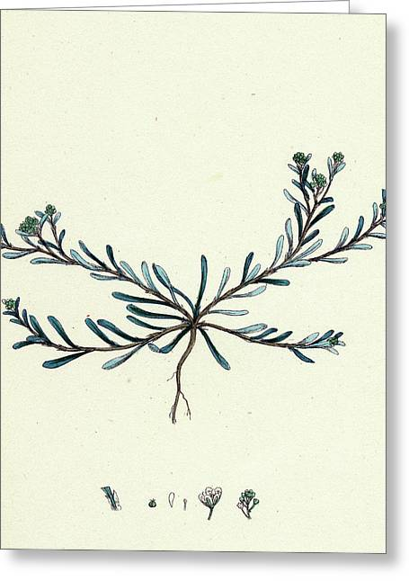 Corrigiola Littoralis Sand Strap-wort Greeting Card by English School