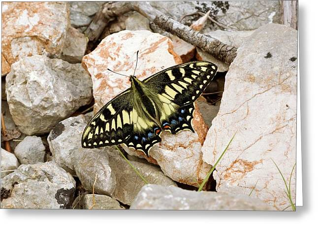 Corsican Swallowtail Butterfly Greeting Card