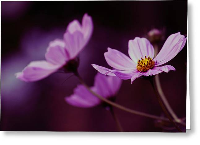 Greeting Card featuring the photograph Cosmo After Glow by Kay Novy
