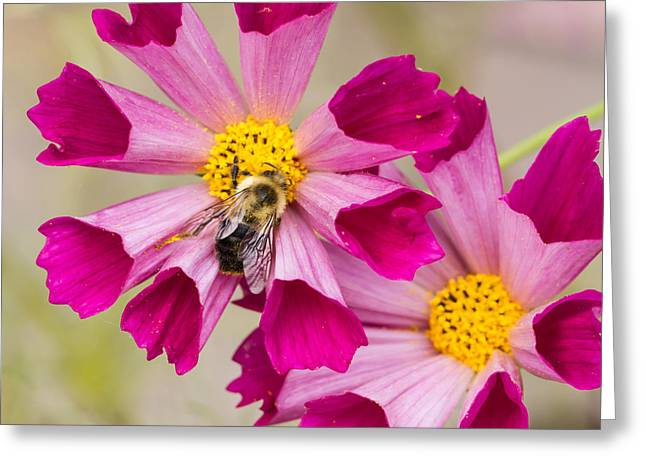 Cosmos And Bee Greeting Card