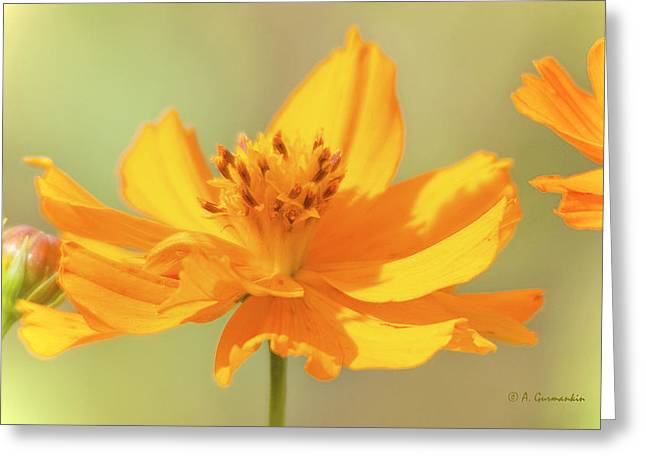 Greeting Card featuring the photograph Cosmos Flowers by A Gurmankin