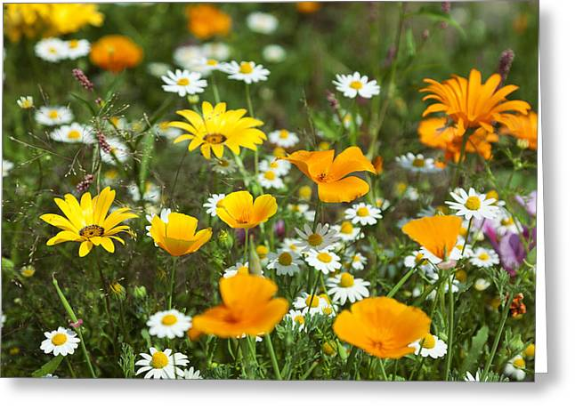 Cosmos Flowers Greeting Card by King Wu