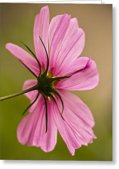 Cosmos In Pink Greeting Card