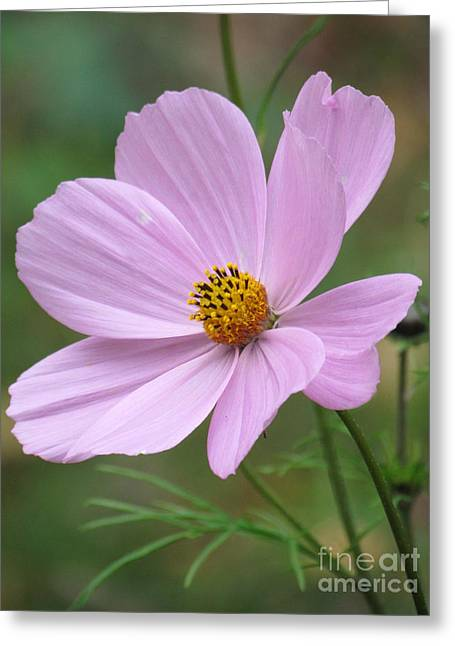 Cosmos Greeting Card