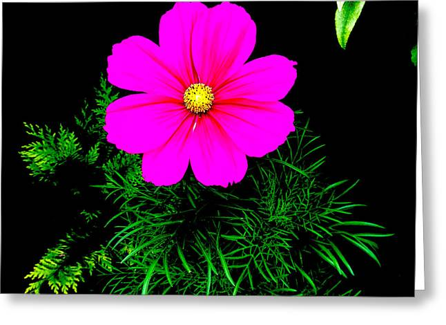 Cosmos Pink On Black 2 Greeting Card