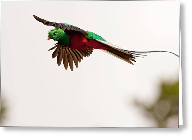 Costa Rica Resplendent Quetzal Greeting Card by Jaynes Gallery