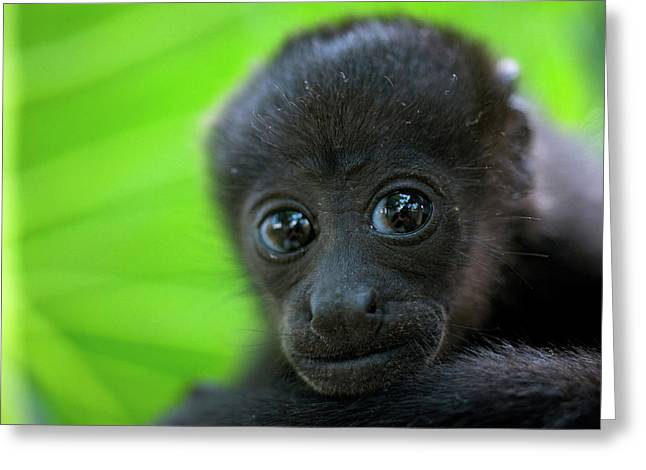Costa Rica The Mantled Howler (alouatta Greeting Card