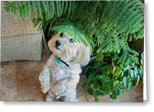 Coton De Tulear Dog Begging Greeting Card by Valerie Garner