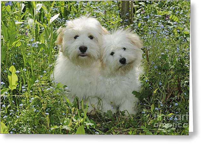 Coton De Tulear Dogs Greeting Card by John Daniels