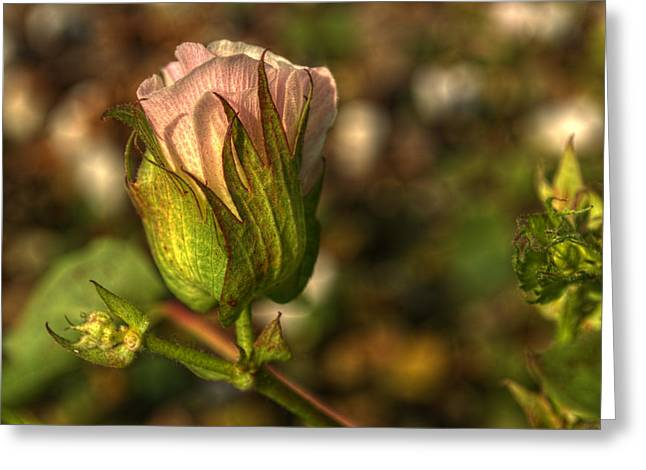 Cotton Bloom Greeting Card by Kelly Kitchens