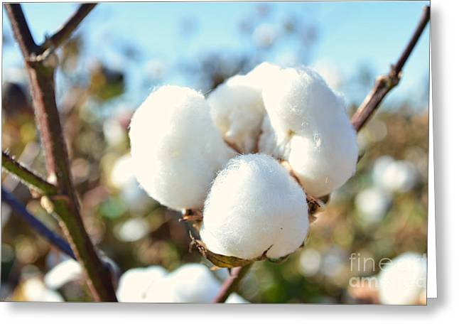 Cotton Boll Iv Greeting Card