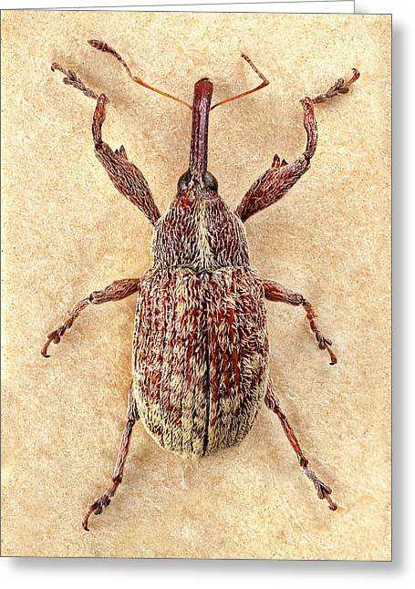Cotton Boll Weevil Greeting Card