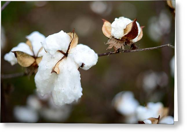Greeting Card featuring the photograph Cotton Creations by Linda Mishler