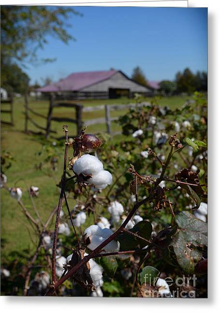 Cotton Farm Greeting Card