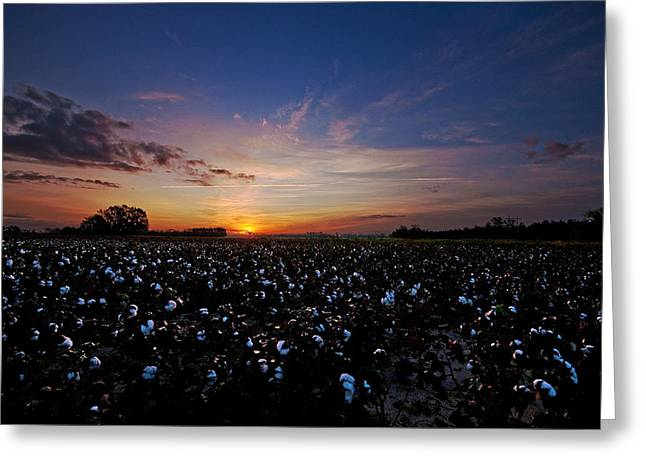 Cotton Field Sunrise Greeting Card