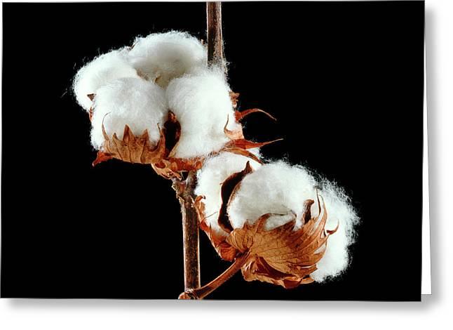 Cotton (gossypium Hirsutum) Bolls Greeting Card