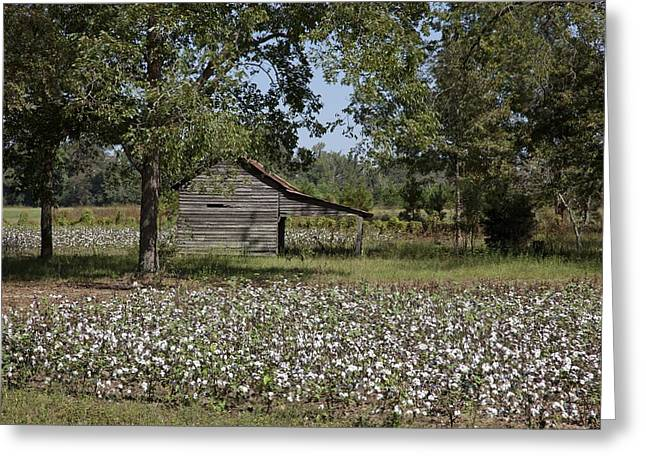 Cotton In Rural Alabama Greeting Card