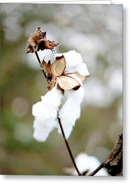 Greeting Card featuring the photograph Cotton Picking by Linda Mishler