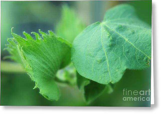Cotton Plant Greeting Card by Charline Xia