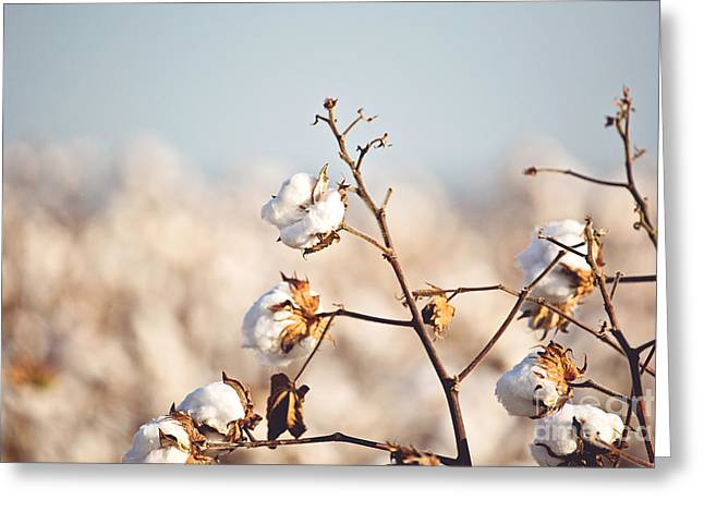 Cotton Production Greeting Card