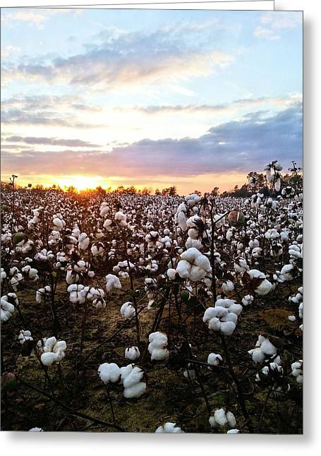 Cotton Soft Greeting Card by JC Findley