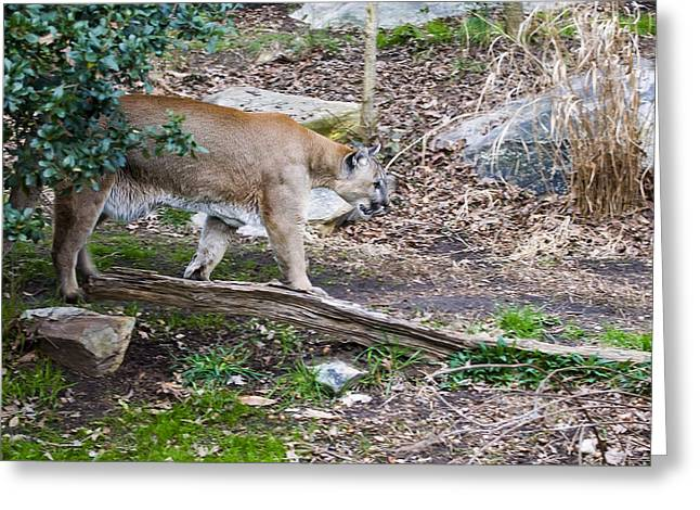 Cougar Comes Out Of Trees Greeting Card by Chris Flees