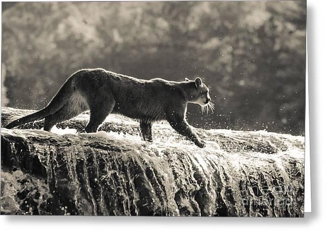 Cougar Crossing Greeting Card