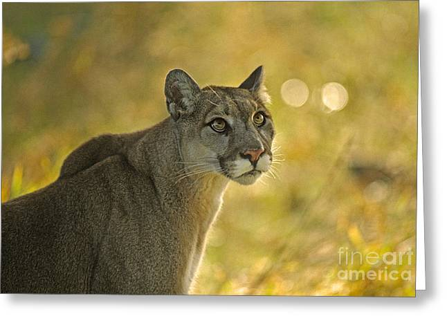 Cougar Felis Concolor Greeting Card by Ron Sanford