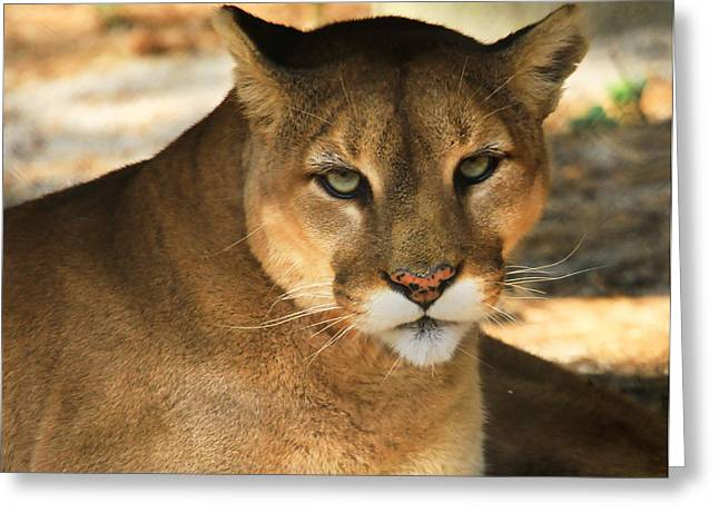 Cougar II Greeting Card by Roger Becker