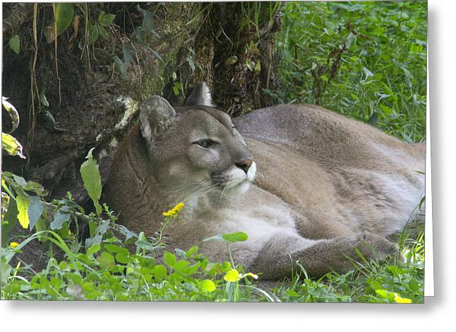 Cougar Greeting Card by Jim Walker