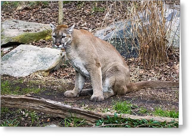 Cougar Watching Greeting Card by Chris Flees