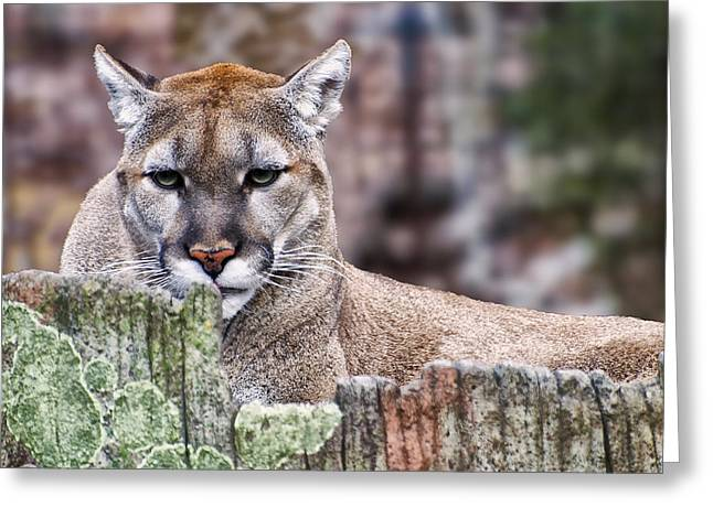 Cougars Stare Close Up Greeting Card by Chris Flees