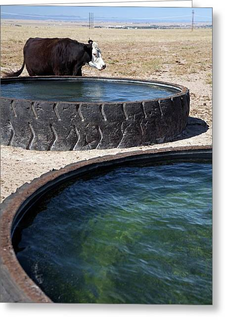 Cow And Water Trough Greeting Card
