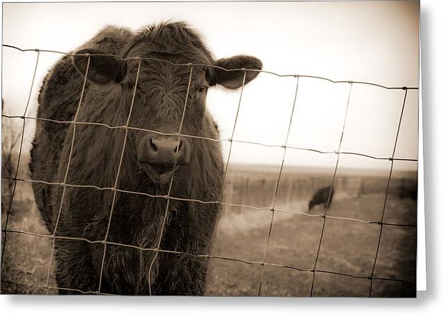 Cow At Fence In Sepia Greeting Card