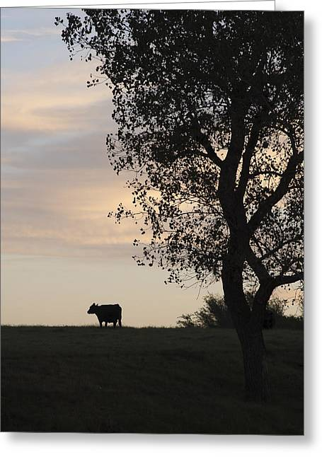 Cow At Last Light Greeting Card