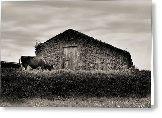 Cow Grazes At Rustic Barn  Greeting Card