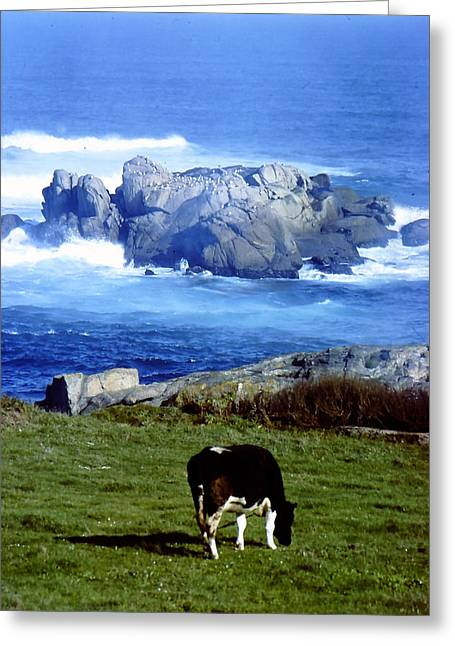 Cow Grazing By The Ocean Greeting Card