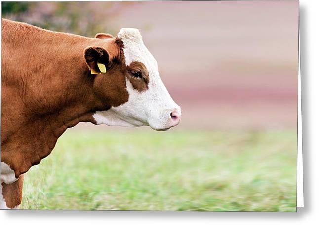 Cow In Field Greeting Card by Wladimir Bulgar