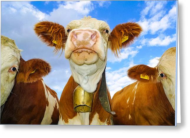 Cow Looking At You - Funny Animal Picture Greeting Card by Matthias Hauser