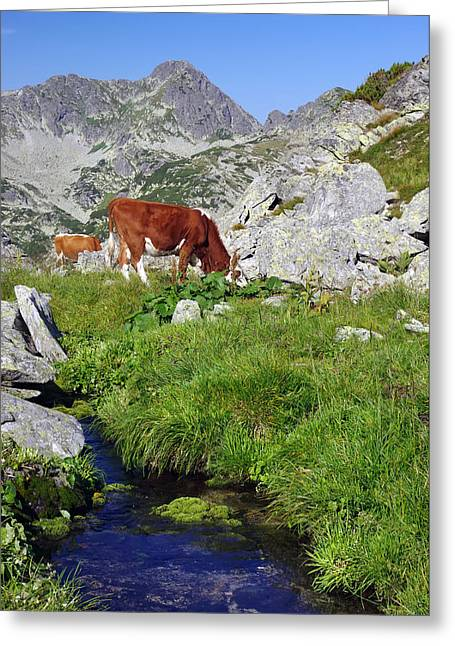 Cow On Alpine Pasture  Greeting Card by Ioan Panaite